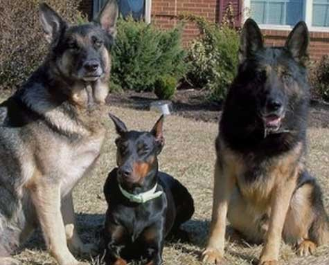 Protection dogs for sale family protection dogs police trained dogs